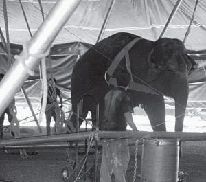 An elephant helps erect the Big Top for the Kelly Miller Circus last Thursday. The tent was set up behind Albanese's IGA. The Buckeye Lake Fire Fighters Association sponsors the circus' visit every two years. Beacon photo by Scott Rawdon.